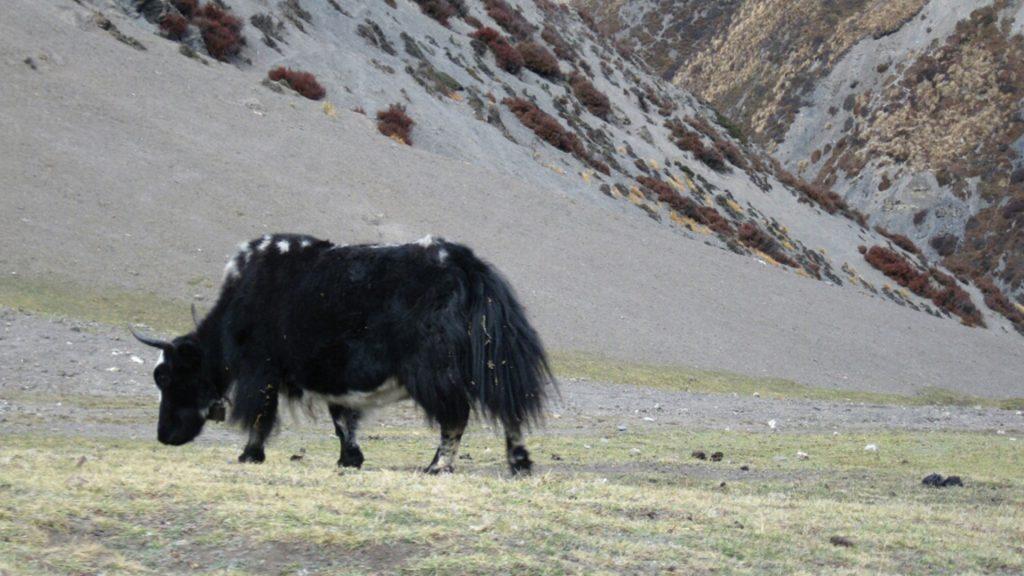 Nar phu valley trek 9