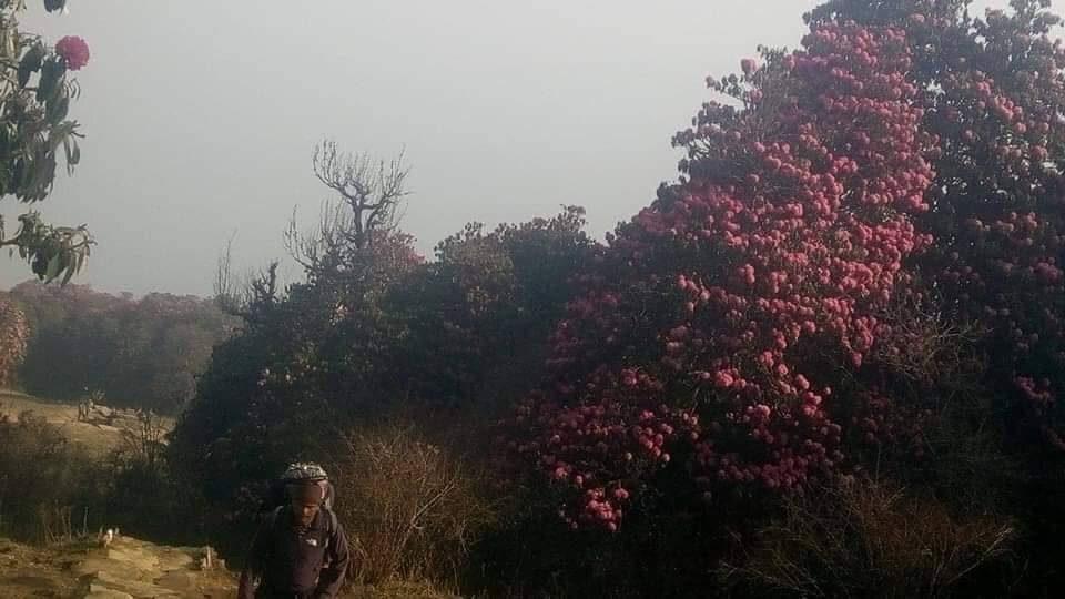 Rhododendron trek kanchenjunga regionjpg (1)