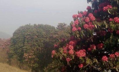 Rhododendron trek kanchenjunga regionjpg (2)