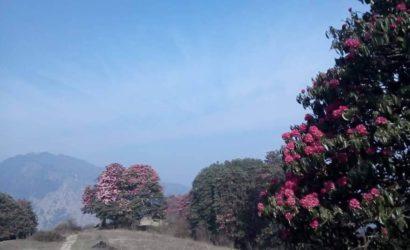 Rhododendron trek langtang region (7)